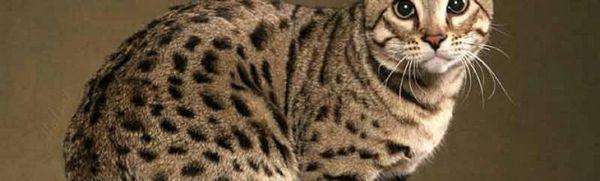 Hypoalergénne mačky: aké plemeno si zvoliť, ak ste alergický na zvieratá