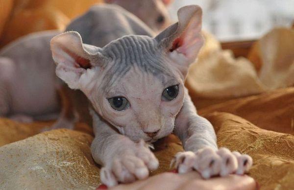 Гіпоалергенні породи кішок