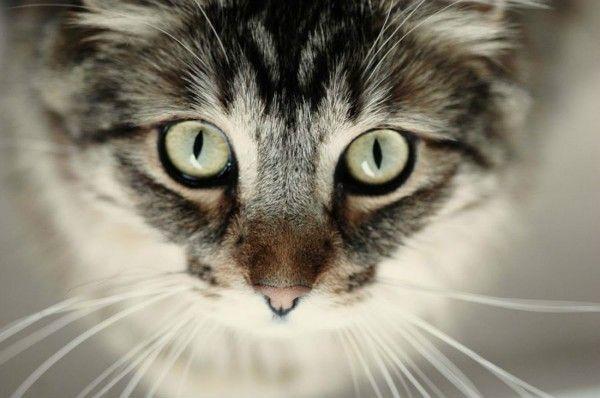 Glaukóm - zvýšený vnútroočný tlak u mačiek