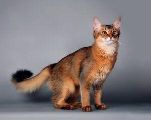 Hlavné rozdiely a vlastnosti držania somálskej mačky