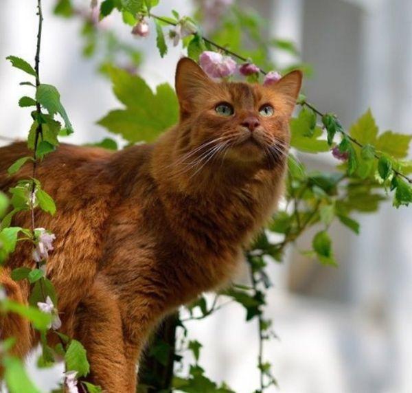 сомалійська кішка