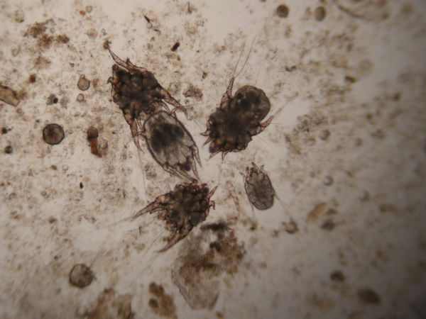 Вушні кліщі під мікроскопом