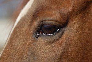 Очі коня: особливості будови і зорового аналізатора