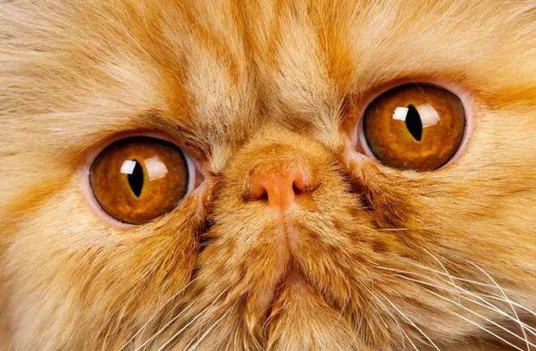 Perzská mačka so žltými očami