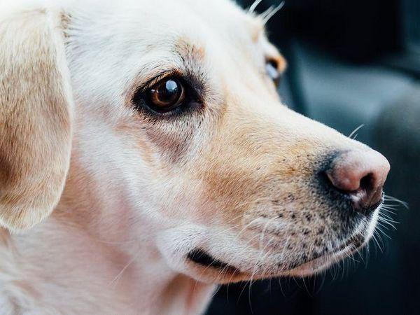 білий пес