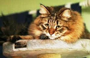 Глисти у котів викликають діарею, втрату апетиту, інші неприємні симптоми