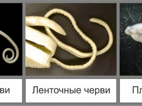 На фото видно різні види глистів, які можуть заразити вашого кота.