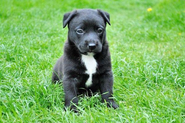 Чорний щеня з білими грудьми