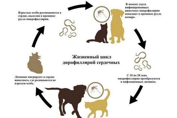 Життєвий цикл дірофілярій