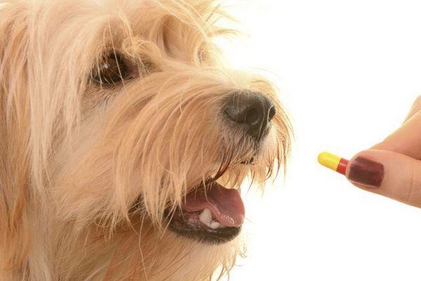 Собаці дають таблетку