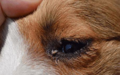 Гній у собаки в очах