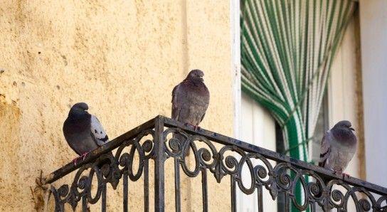 Holubice na balkónoch a podkroviach: účinné spôsoby, ako sa ich zbaviť