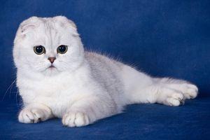 висловухий кошеня
