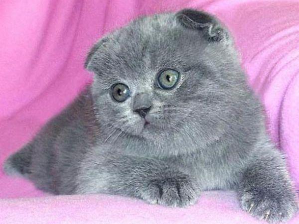 Опис породи кошенят
