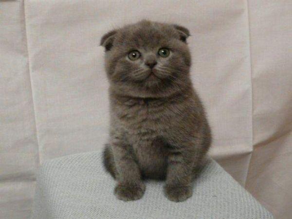 Який характер у британських кошенят