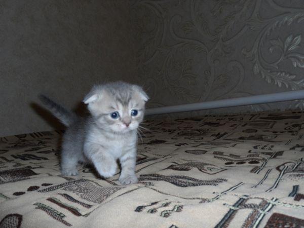 Висловухий кошеня блакитний