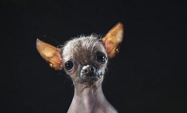 Маньчжурська лиса собака