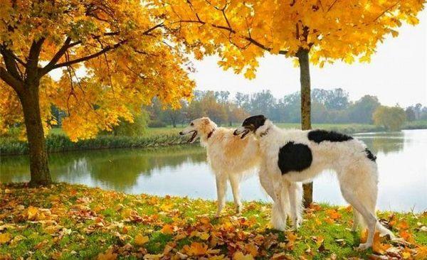 Порода собак російський гончак відрізняється такими рисами, як: гарне чуття, дзвінкий голос, стайность, вірність, невтомність