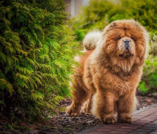 Собака охайна, добра, мало гавкає і прекрасно охороняє господаря