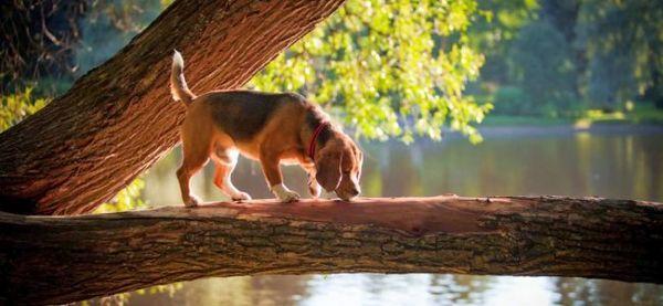 Гонча порода собак бігль відрізняється веселою вдачею, вони віддані і охайні. При цьому є неперевершеними мисливцями на пернату дичину, дрібного звіра і навіть рибу