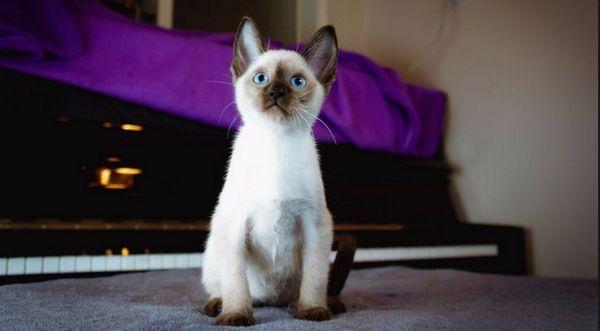 сіамський кошеня