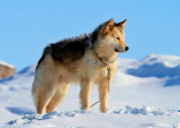 гренландська собака порода