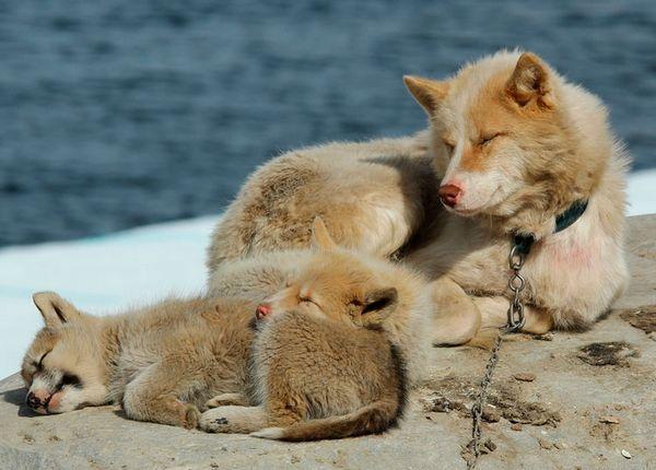 гренландська собака з цуценятами
