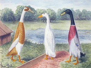 Charakteristika indického bežca kačice