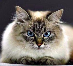 Невські маскарадні кішки
