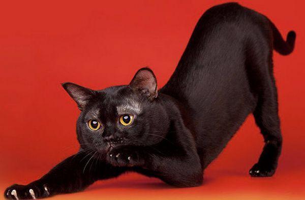 Бомбейська порода кішок
