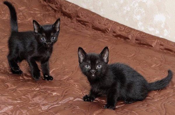 Кошенята породи Бомбей