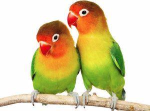 Імена для папуг, як назвати пернатих хлопчиків і дівчаток
