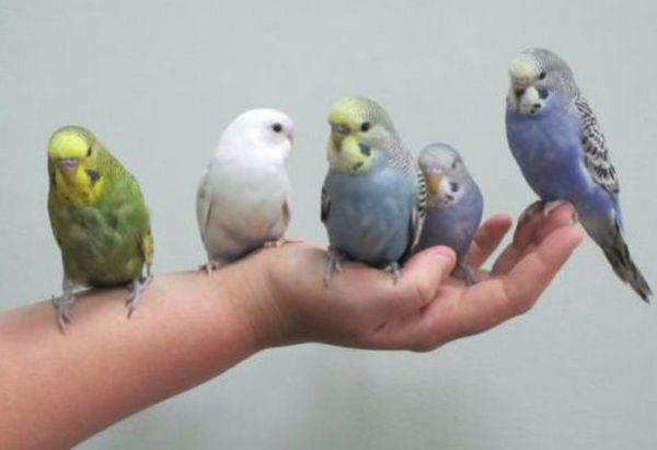 Як привчити папугу до імені