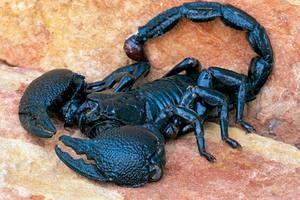 Imperiálny škorpión: vlastnosti životného cyklu