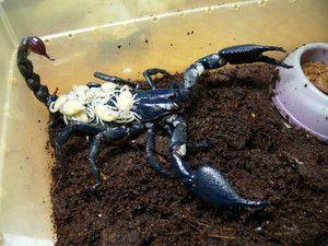 Ako vychovať cisára škorpióna