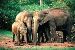 Indický alebo ázijský slon: vlastnosti druhu
