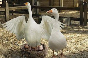 Сімейство білих гусей