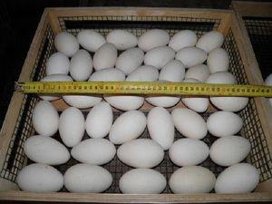 Вибираємо яйця для інкубації