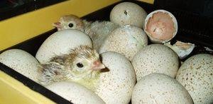 Як закладати яйця