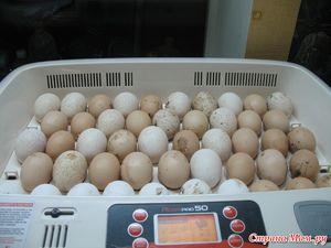 Інкубація індичих яєць