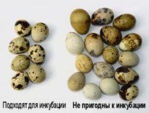 Відбір перепелиних яєць для інкубації