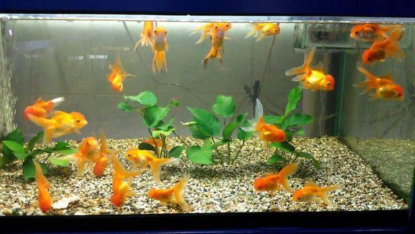 Акваріум із золотими рибками