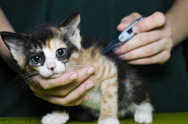 Фуросемід для кішок