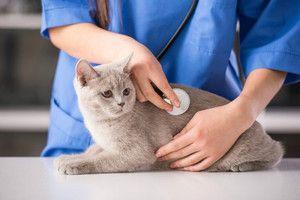 Протипоказання до застосування Вітафел для кішок
