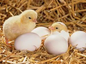 Інструкція по виведенню курчат