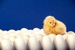 Збір яєць для інкубації