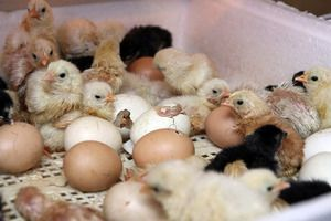 Зберігання яєць для інкубації