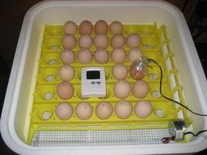 Закладка домашніх яєць в інкубатор