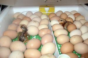 Умови інкубації курчат