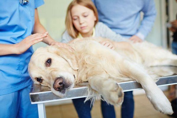 Лабрадор у ветеринарній клініці